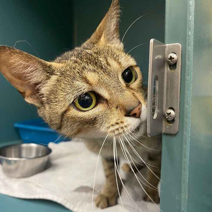 *LOST KITTEN ALERT*  Female kitten approximately 6-7 months old. No microchip This kitten was found behind our facility ...