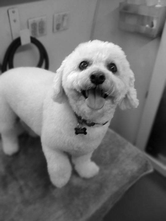Andy has been getting groomed with me a very long time. Still so Adorable!!❤️🐕 #BentleyPetMobile #Dog #Grooming #Animals...