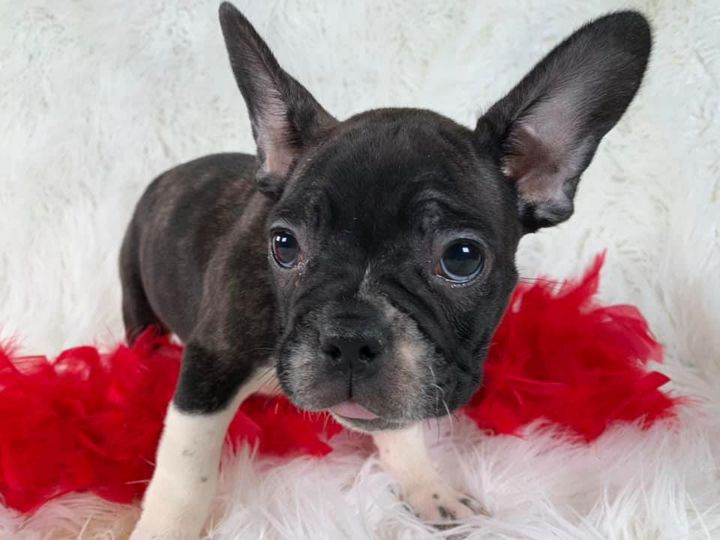 French bulldogs have arrived