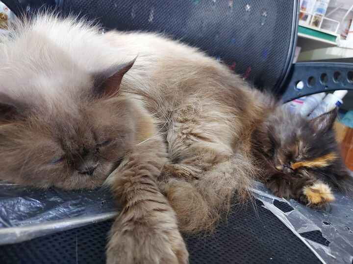 Drop ur pet sleepy photo...Lets see our cuties out there...Here is mine...❣#kito#tiku#thepersiancat