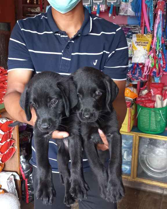 #Today Offer Today Offer Today Offer #Full Black Labrador Female #Price 15000 Only#Age 48 Days #For More information 985...